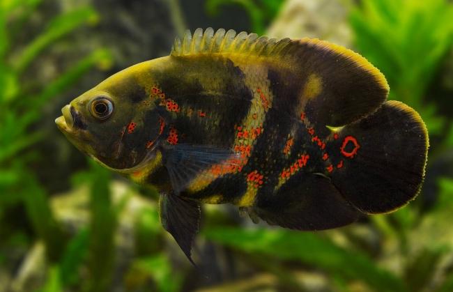 рыбка семейства цихловых астронотус плавает в аквариуме на фоне растений