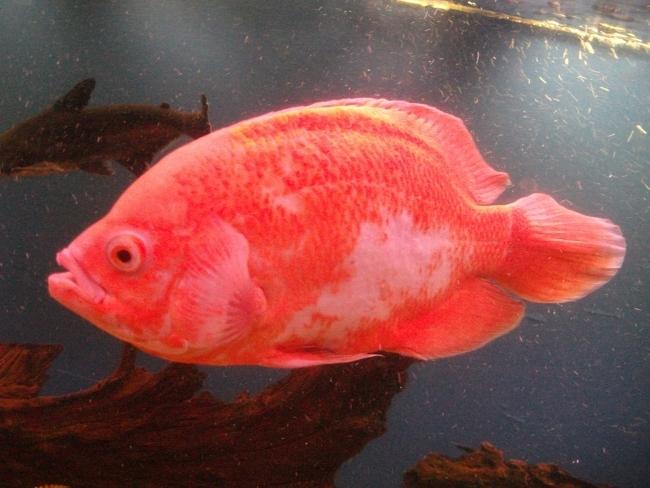 астронотус красного цвета плавает в аквариуме