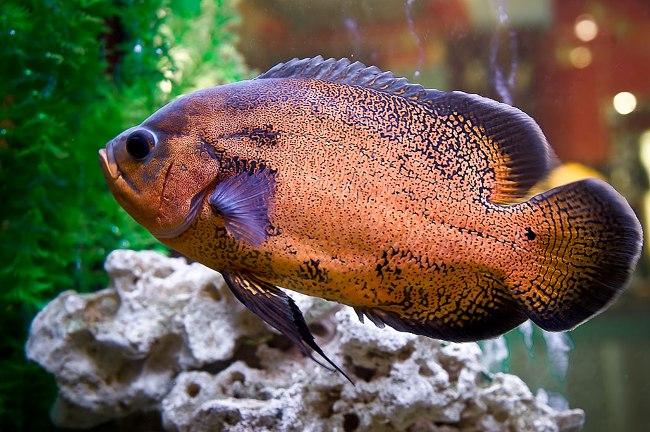южно-американская рыба астронотус в аквариуме