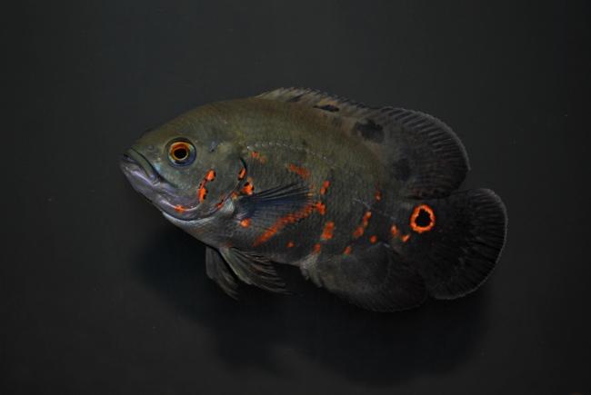 рыбка родом из южной америки астронотус или оскар