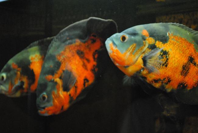 астронотусы черно-оранжевой окраски