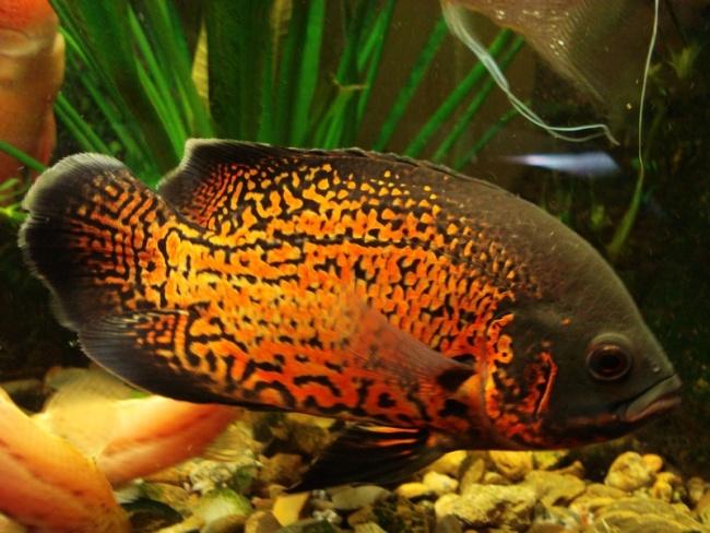 рыба астронотус в аквариуме