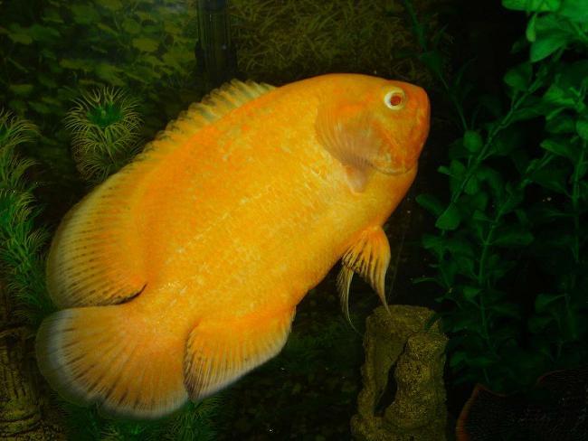 астронотус желтого цвета в аквариуме на фоне растений