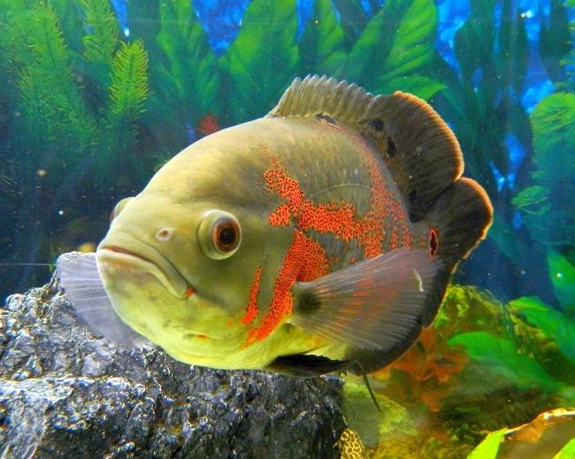 рыбка семейства цихловых астронотус или оскар в аквариуме