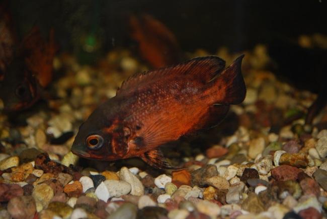 рыбка семейства цихловых родом из южной америки астронотус в аквариуме