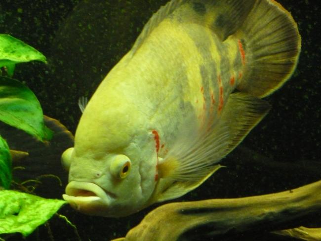аквариумная рыбка астронотус белого цвета с красными крапинками