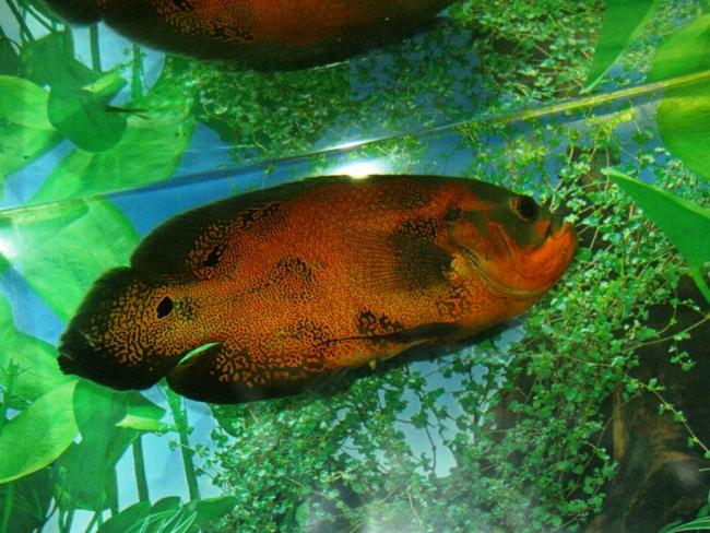 рыбка семейства цихловых родом из южной америки астронотус плавает в аквариуме