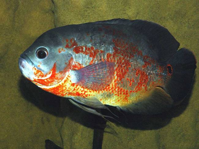 рыбка родом из южной америки астронотус
