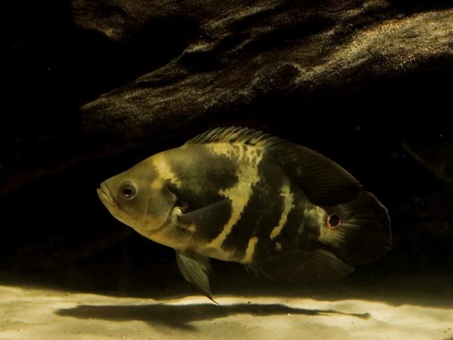 астронотус черно-серого цвета в темном аквариуме на фоне камней