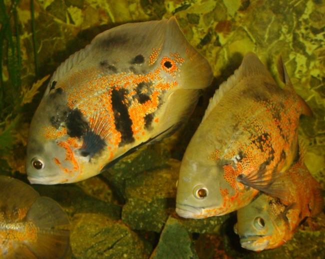 южно-американские рыбки астронотусы