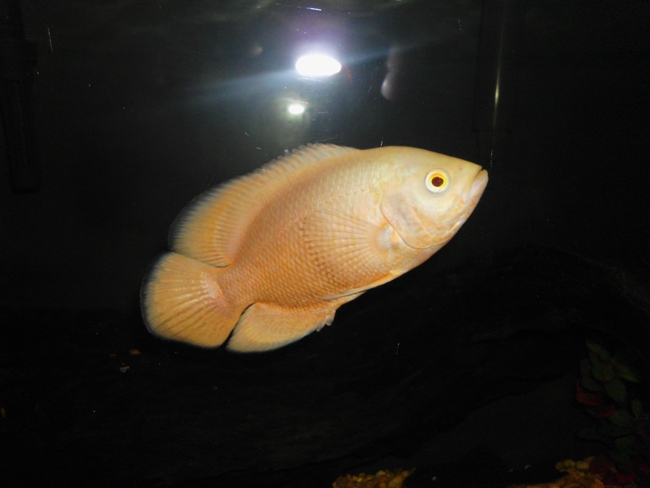 рыбка семейства цихловых астронотус или оскар плавает в аквариуме