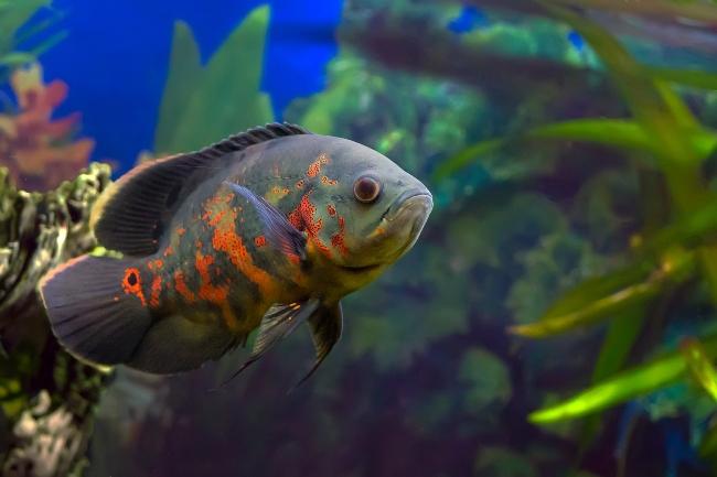 рыбка семейства цихловых родом из южной америки астронотус или оскар плавает в аквариуме