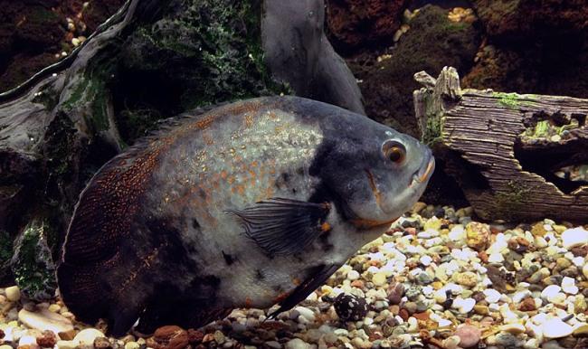 рыбка родом из южной америки астронотус или оскар плавает в аквариуме