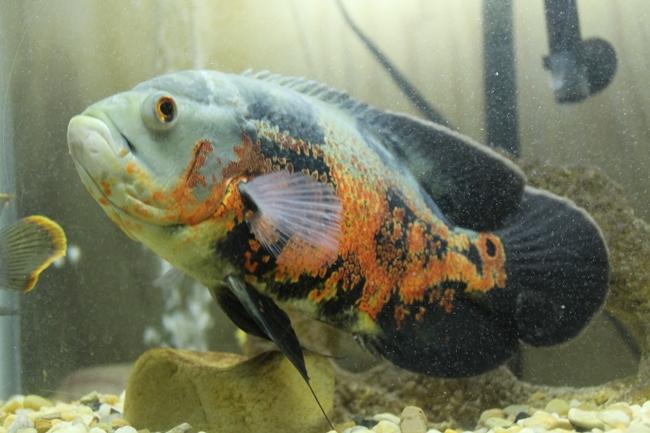 рыба семейства цихловых астронотус или оскар в аквариуме