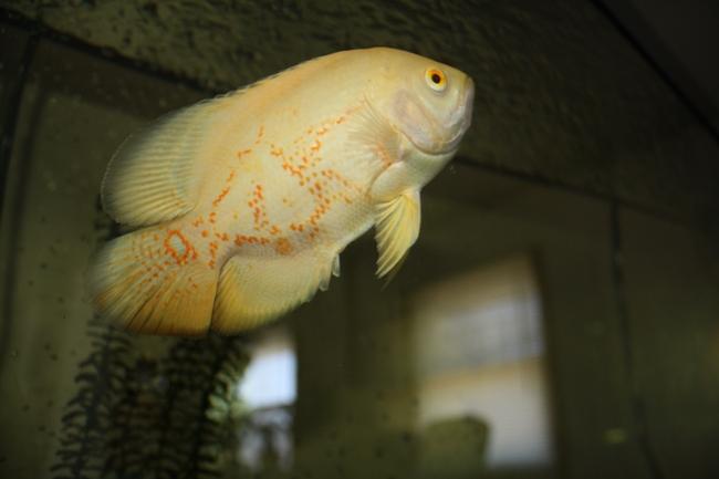 рыба семейства цихловых родом из южной америки астронотус плавает в аквариуме