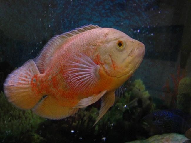 южно-американская рыба астронотус плавает в аквариуме