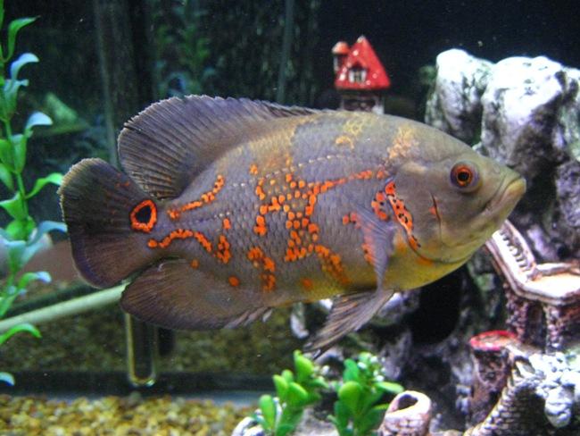 рыба семейства цихловых родом из южной америки астронотус в аквариуме