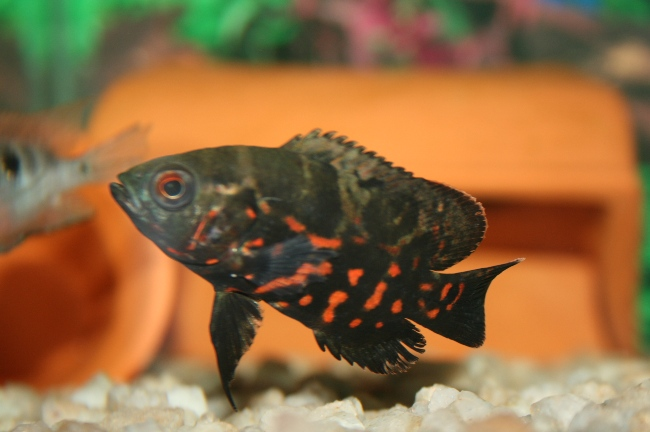 южно-американская рыбка астронотус в аквариуме