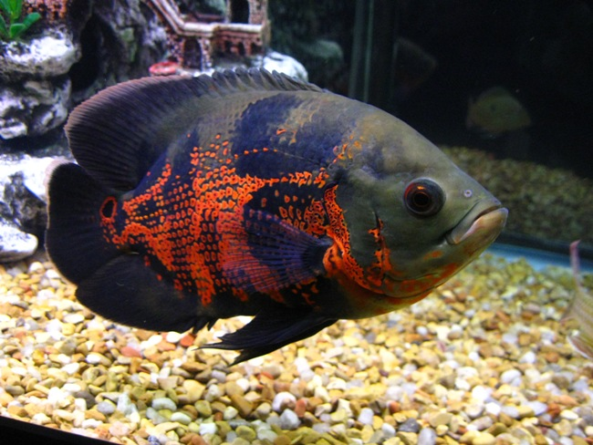 рыба родом из южной америки астронотус в аквариуме