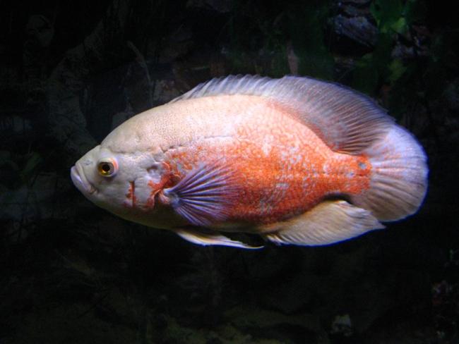 цихлида родом из южной америки астронотус в аквариуме