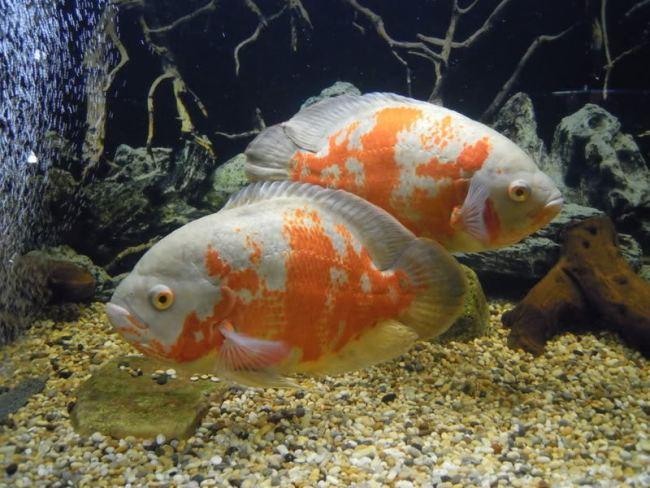 астронотусы бело-оранжевой окраски