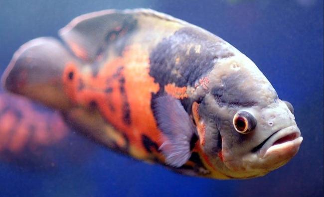 южно-американская рыбка астронотус