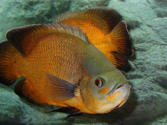 рыба семейства цихловых астронотус плавает в аквариуме