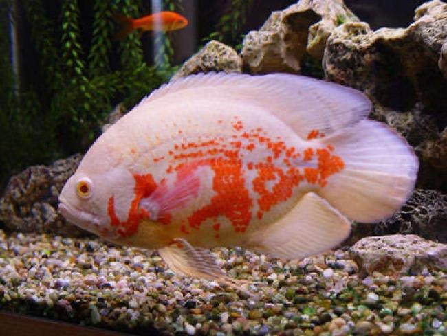 астронотус красно-белого цвета в аквариуме на фоне камней
