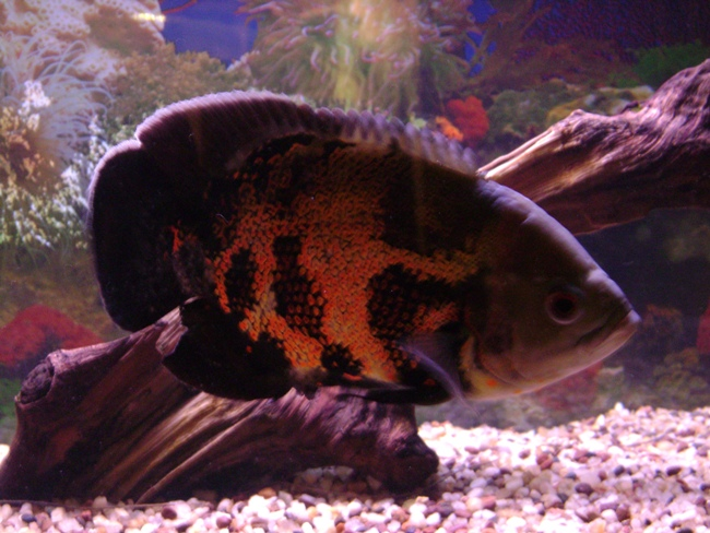 южно-американская цихлида астронотус черно-оранжевой окраски в аквариуме на фоне коряги