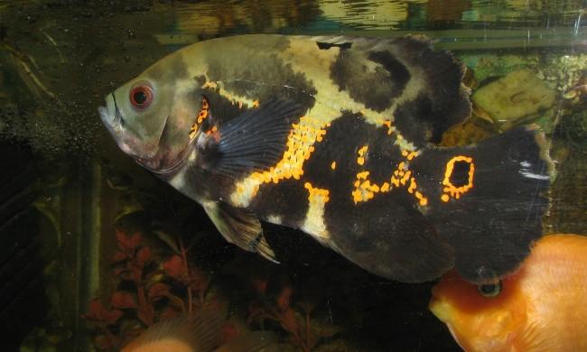 рыба семейства цихловых астронотус или оскар плавает в аквариуме
