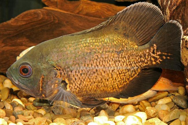 рыбка семейства цихловых родом из южной америки астронотус