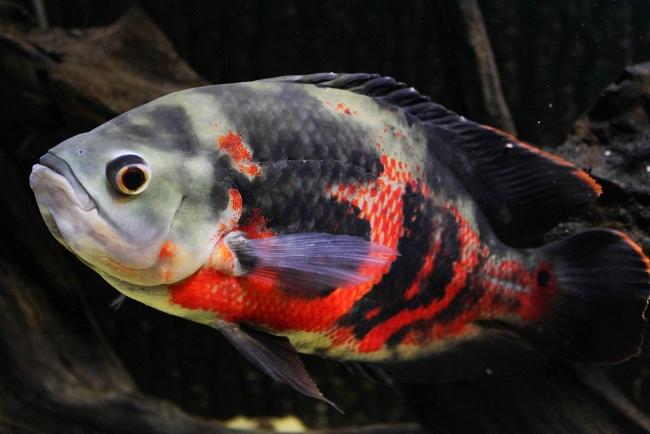 рыба семейства цихловых родом из южной америки астронотус или оскар