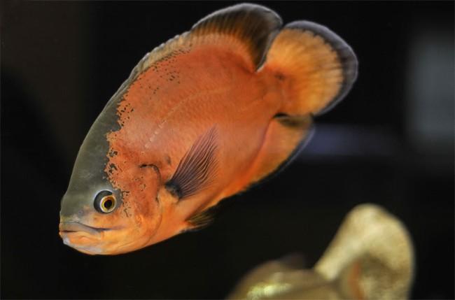 южно-американская рыба астронотус или оскар в аквариуме