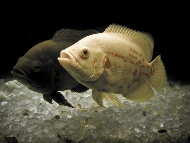 южно-американские аквариумные рыбки астронотусы