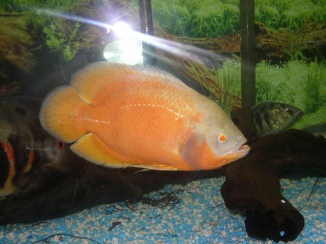 рыбка родом из южной америки астронотус плавает в аквариуме