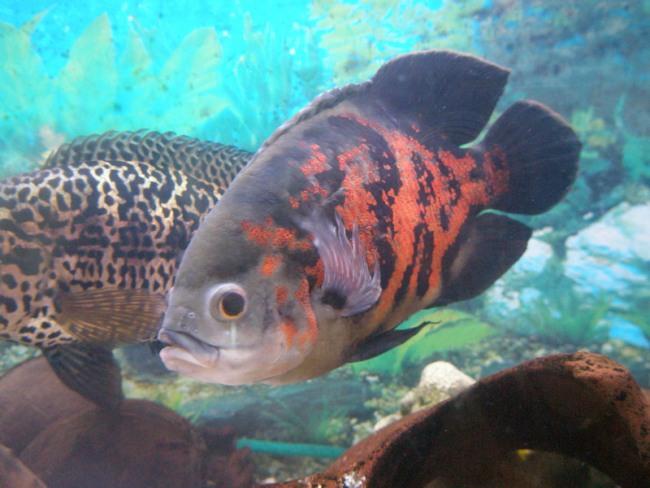 южно-американская рыбка астронотус или оскар плавает в аквариуме