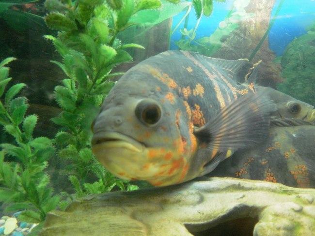 рыба родом из южной америки астронотус или оскар