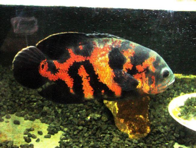рыбка семейства цихловых родом из южной америки астронотус или оскар в аквариуме