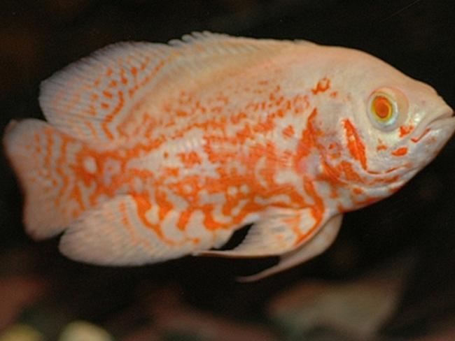 южно-американская рыбка астронотус или оскар