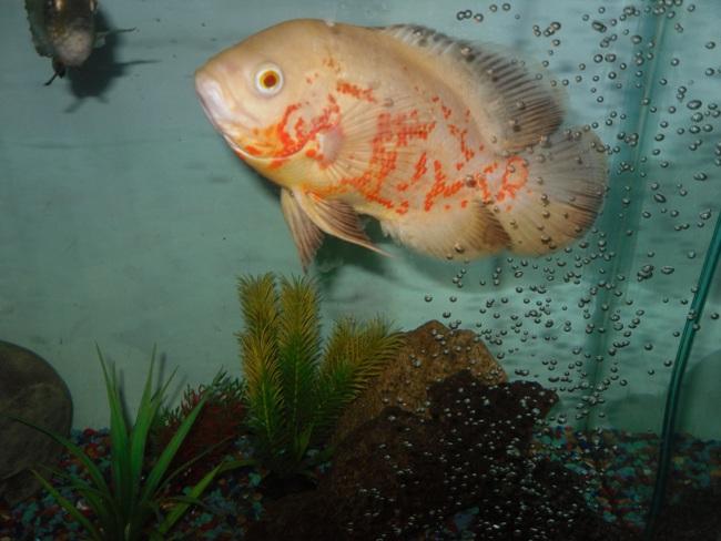 рыбка родом из южной америки астронотус в аквариуме