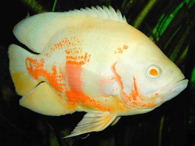 рыба родом из южной америки астронотус