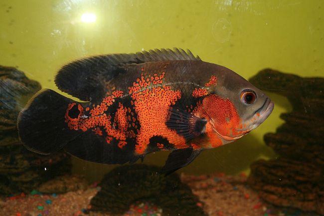 рыба родом из южной америки астронотус или оскар плавает в аквариуме