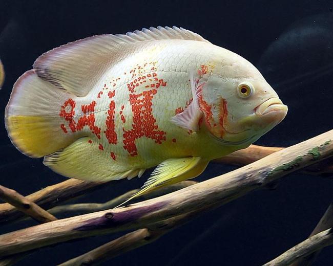 астронотус красно-белого цвета плавает в аквариуме рядом с корягой