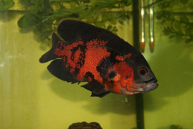 южно-американская рыбка астронотус плавает в аквариуме