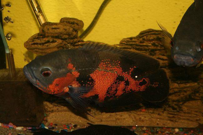 цихлида родом из южной америки астронотус плавает в аквариуме
