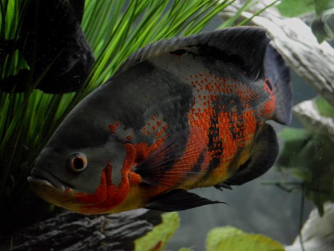 аквариумная рыбка родом из южной америки астронотус