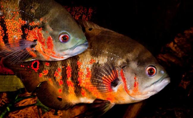 цихлиды родом из южной америки астронотусы в аквариуме