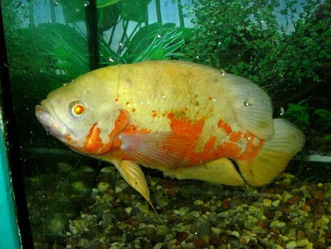 астронотус красно-белого цвета плавает у дна в аквариуме