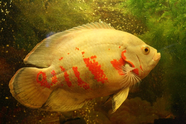 астронотус красно-белого цвета в аквариуме на фоне растений