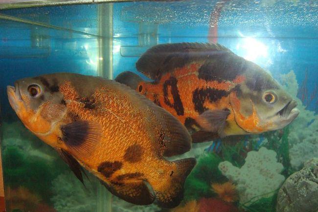 астронотусы черно-золотого цвета в аквариуме